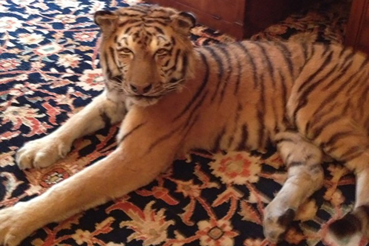 sp.tiger